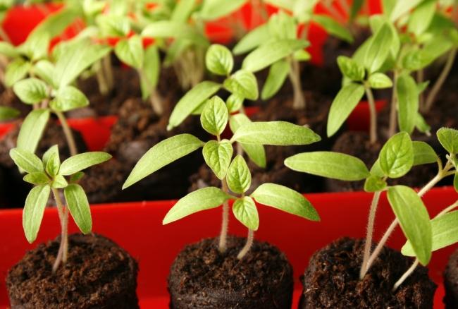 Секреты выращивания рассады в домашних условиях