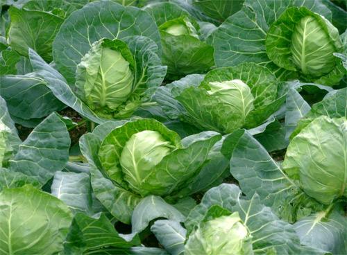 25356 Тонкости в выращивании капусты