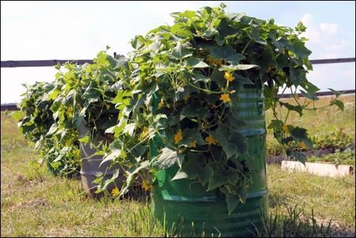 Выращиваем огурцы в старых бочках