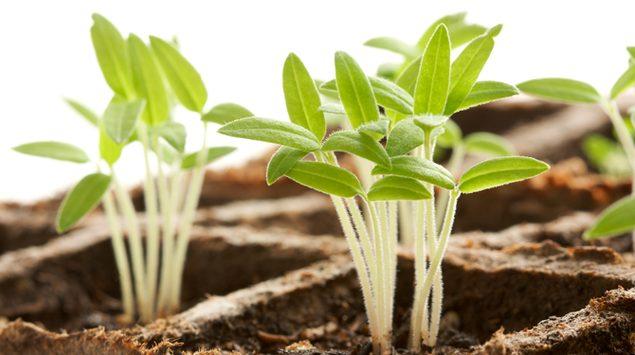 Обработка семян, повышающая всхожесть
