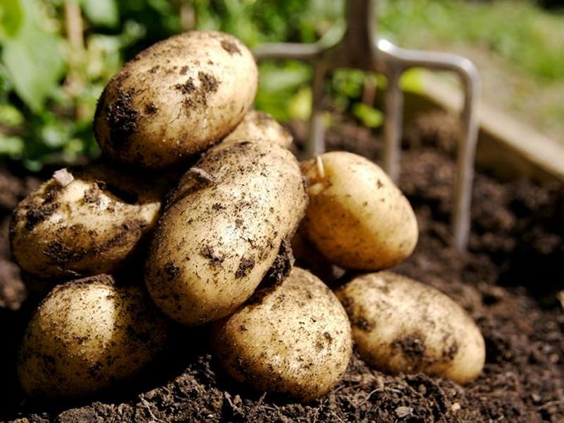 Семьдесят пять ведер картошки с участка в 1.5 соток
