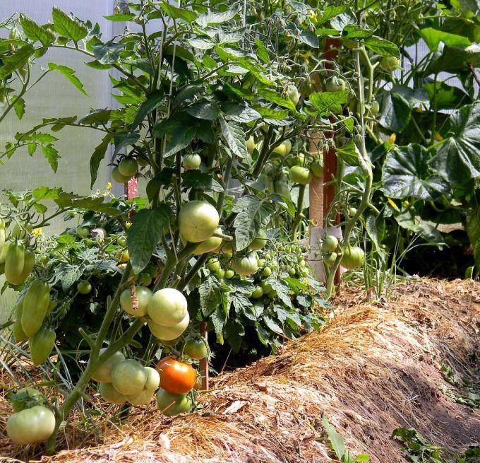 Как сажать помидоры