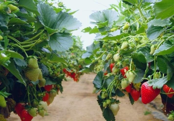 Как правильно выращивать клубнику на даче