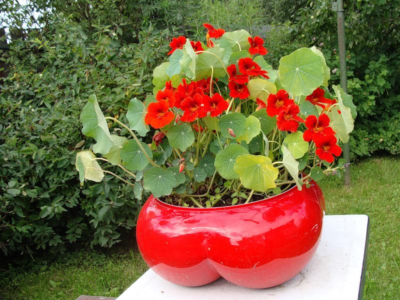 Цветок настурция в вашем саду