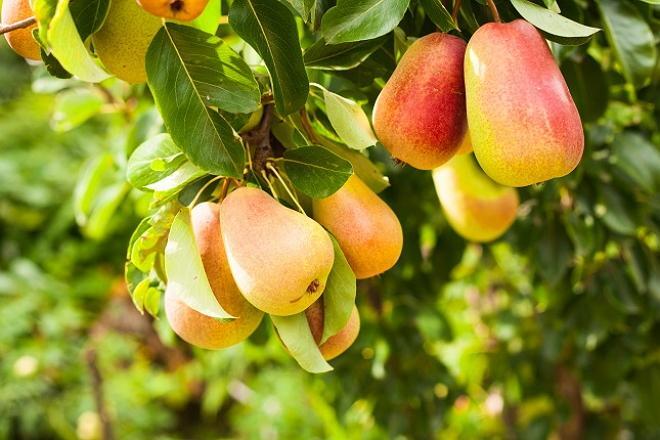 Как вырастить грушу в своем огороде