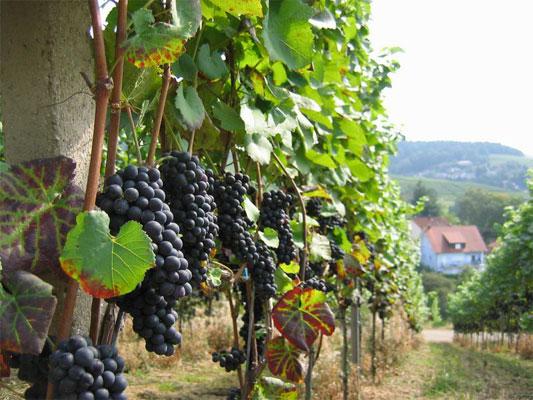 25677 Обработка винограда весной от вредителей