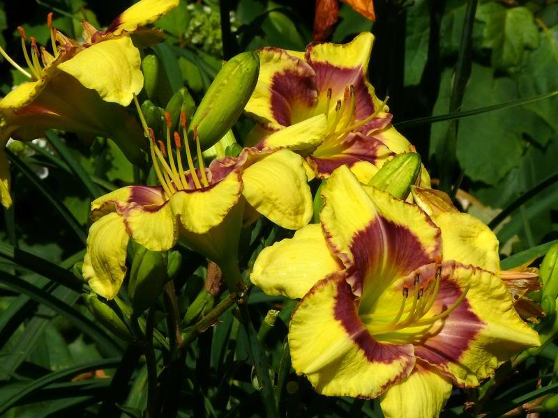 Выращиваем лилейник в саду