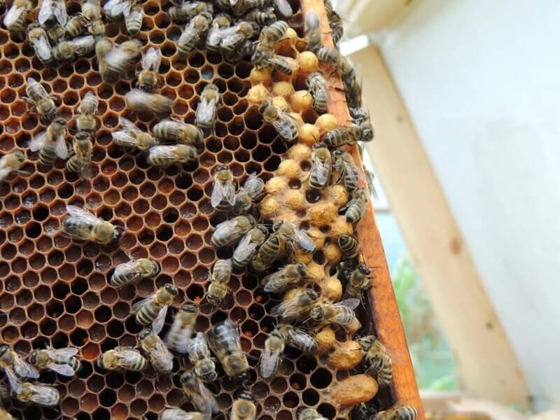 Болезни пчёл. Аспергиллез (каменным расплод)