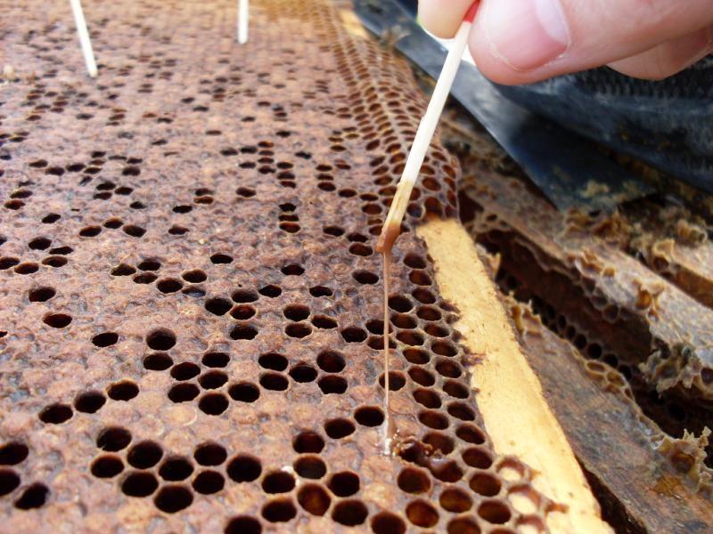 Болезни пчёл. Американский гнилец
