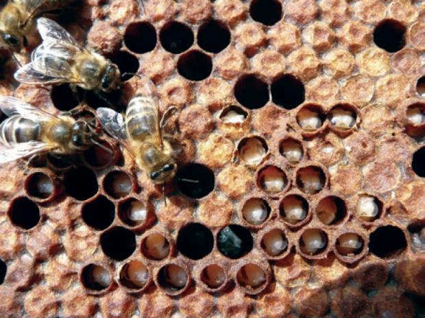 Инфекционные болезни пчёл. Европейский гнилец