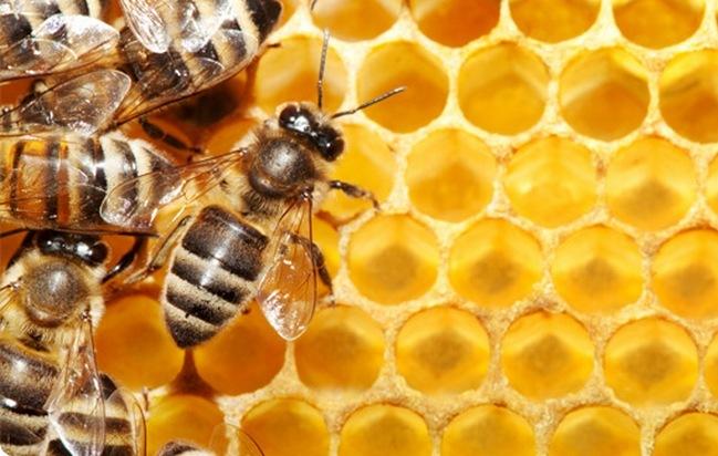 Незаразные болезни пчёл. Падевый токсикоз