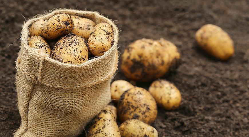 Как посадить картофель традиционным способом