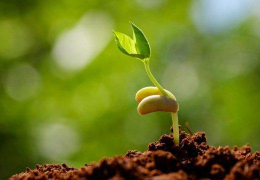 Стратификация семян с помощью капусты
