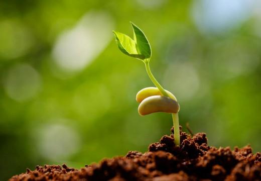 25821 Стратификация семян с помощью капусты