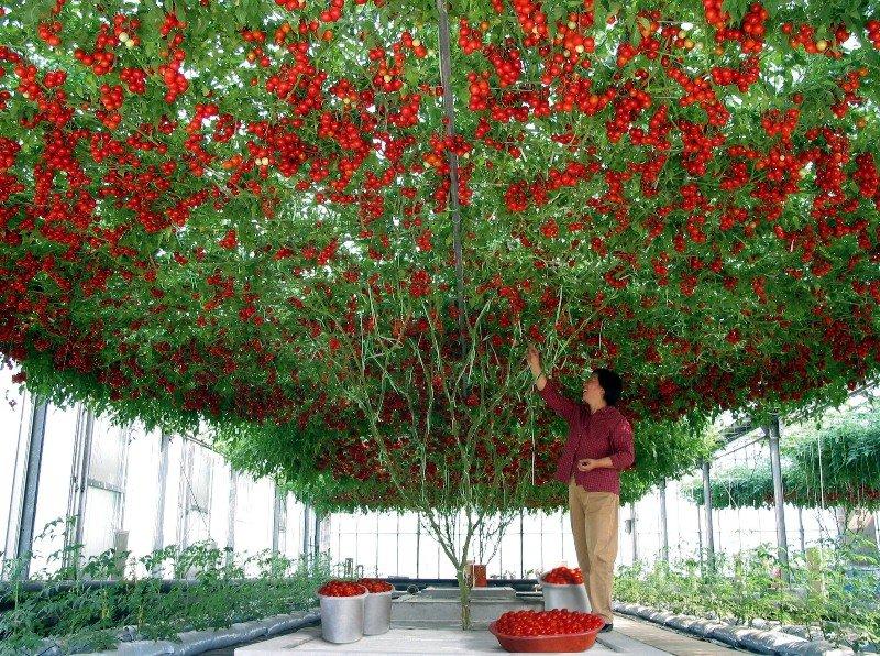 Когда и как сажать помидоры