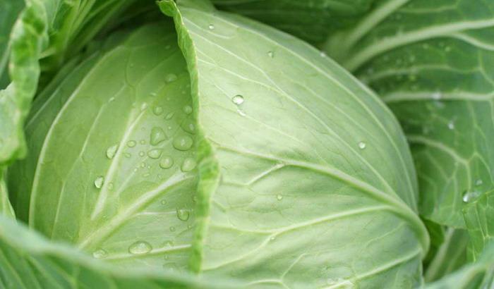Как выращивать капусту белокочанную