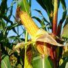 Хотите вырастить кукурузу