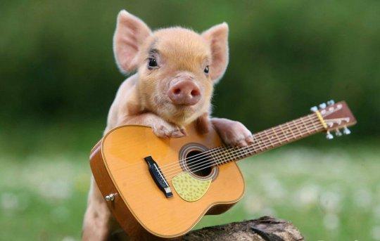Патологоанатомические изменения при чуме свиней