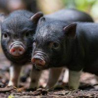 28049 Признаки и течение классической чумы свиней
