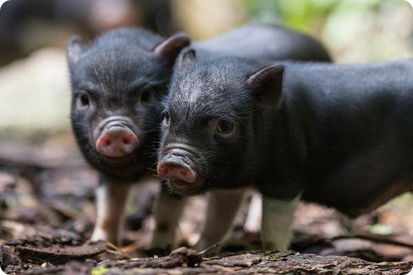 Признаки и течение классической чумы свиней