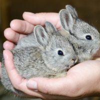 28524 Способы случки кроликов