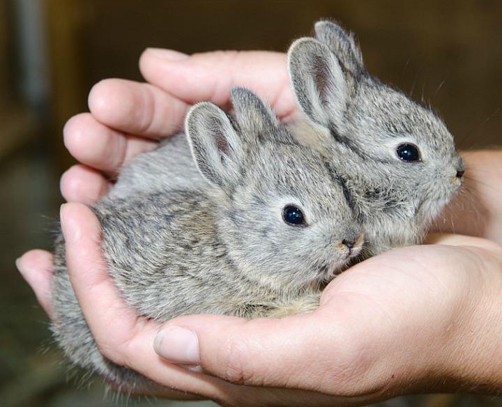 Способы случки кроликов