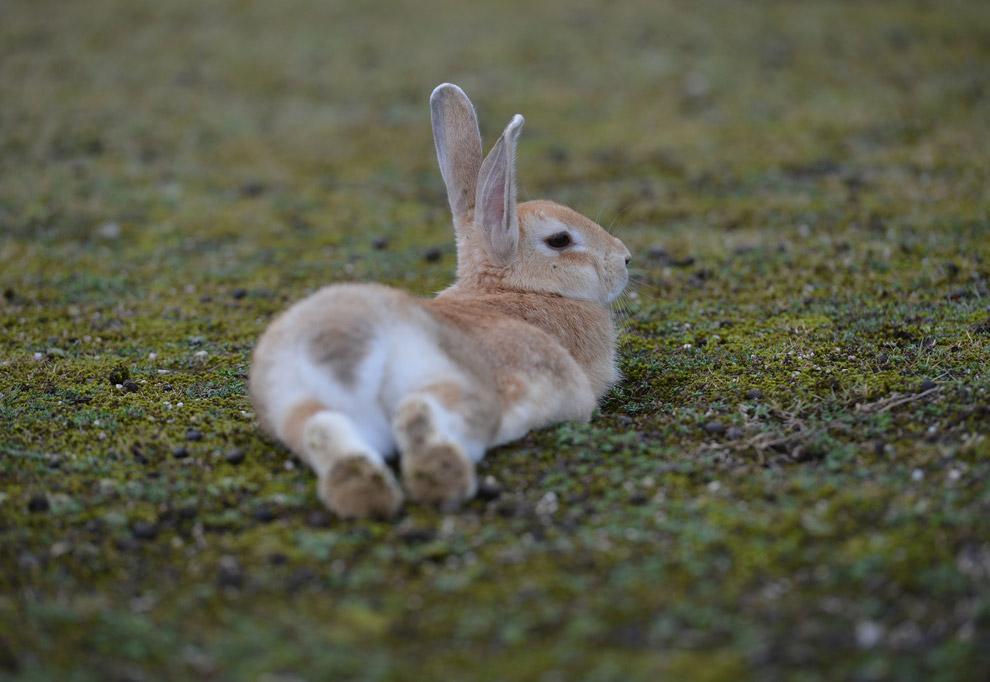 Окрол и подсосный период у крольчихи