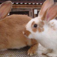 28530 Чистопородное разведение кроликов