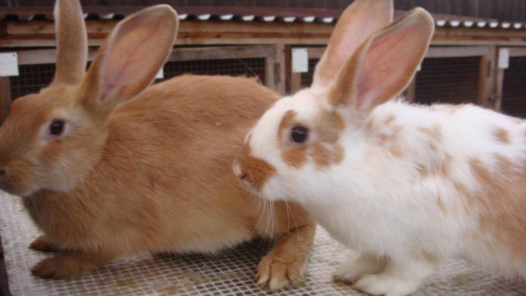 Чистопородное разведение кроликов