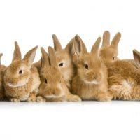 Обзор пород кроликов фото - 14267 200x200