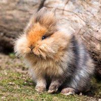 28544 Популярные породы кроликов: ангорский кролик