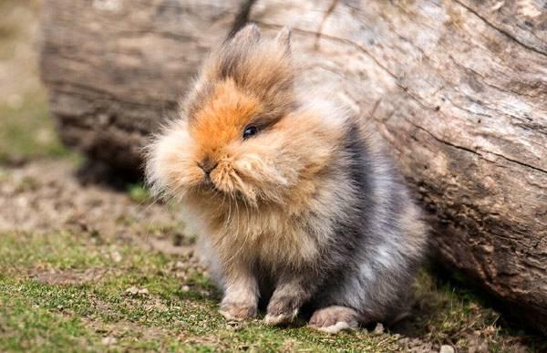 Популярные породы кроликов: ангорский кролик