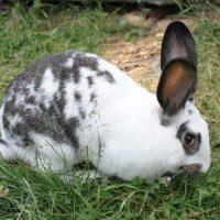 28550 Мясные породы кроликов