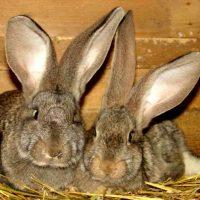 Популярные породы кроликов: фландр фото - 14271 200x200