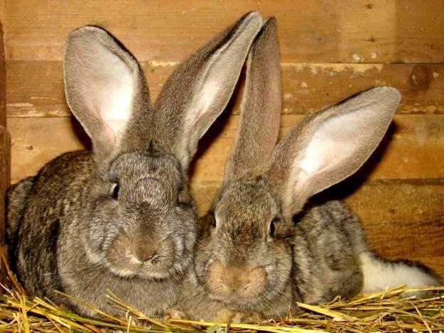 Популярные породы кроликов: фландр