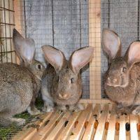 28557 Преимущества разведения кроликов