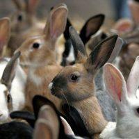 Убой кроликов и съём шкурки фото - 14399 200x200