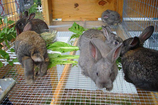Технологии разведения кроликов