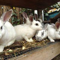 Методы разведения кроликов фото - 14402 200x200