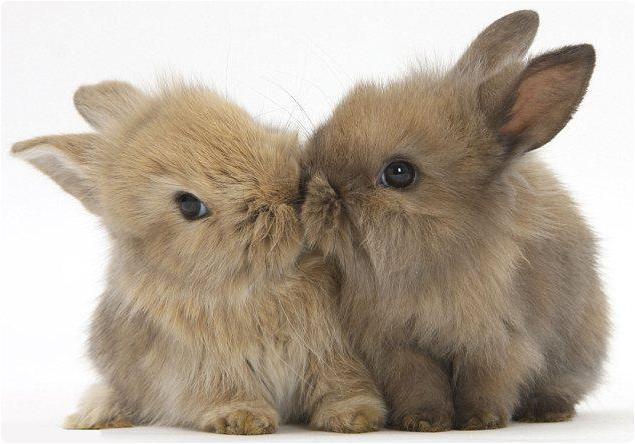 28572 Содержание декоративных кроликов