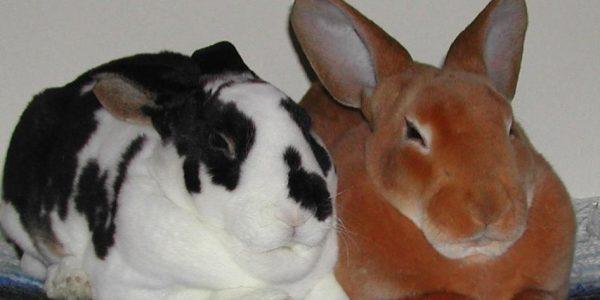 Кролики – акселераты