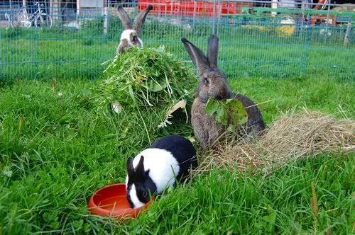 Чем нужно кормить кроликов фото - 14411 500x332