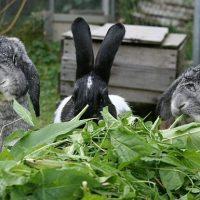 28584 Чем нужно кормить кроликов