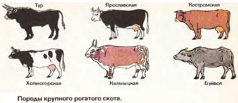 Породы рогатого скота фото - 15156 1000x435