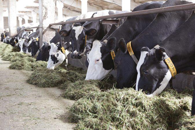 Содержание коров фото - 15158 674x449
