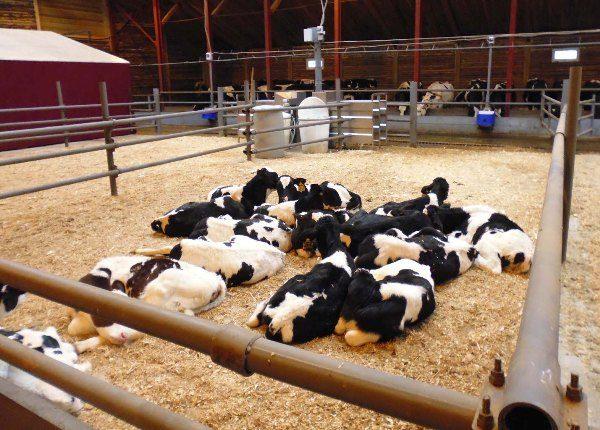 Содержание коров фото - 15160 600x430