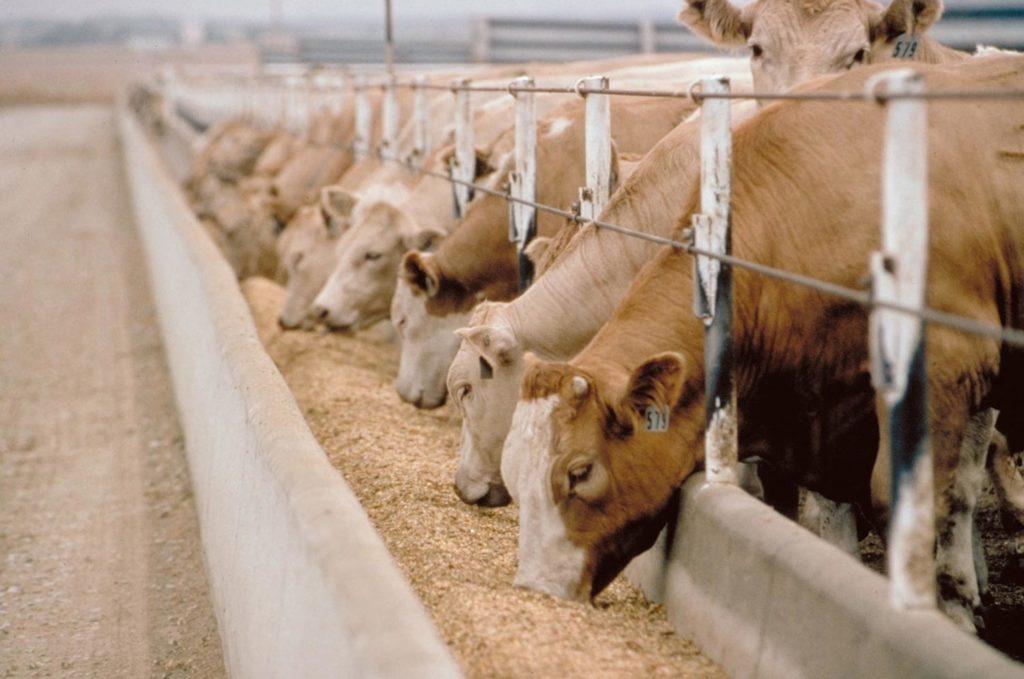 Кормление коров фото - 15163 1024x679