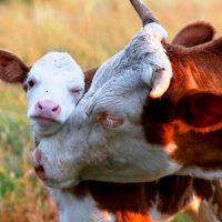 28714 Размножение коров. Уход за теленком