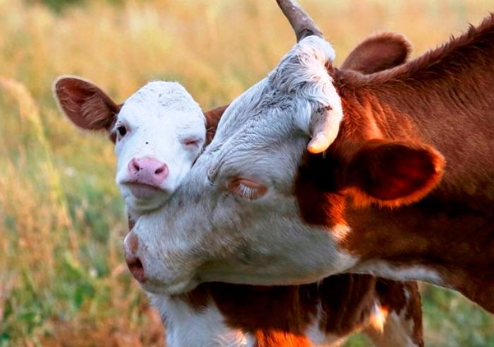Размножение коров. Уход за теленком