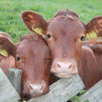 28726 Болезни крупного рогатого скота
